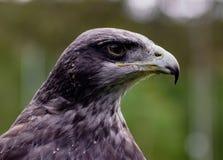 Close-up of Black-Chested Buzzard-Eagle head. At a bird rescue center in Ecuador at a bird rescue center in Ecuador stock photo