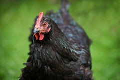 Close Up of a Black Chicken Head Stock Image