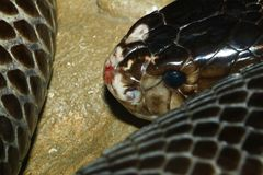 Close up black cobra on the rock.  stock photography