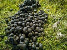 Close up black color goat excrement on a green grass ground.  stock photo