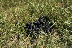 Close up black color goat excrement on a green grass ground. Natural fertilizer. Manure. Agriculture. Goat shit. Close up black color goat excrement on a green stock photo