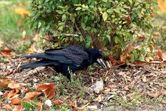 Close-up of a black crow, which stands on the ground and hides something under a green bush in the park. stock images