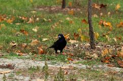Close-up of a black crow who looks into the camera and stands on the ground. Nearby are yellow leaves and green grass. stock image