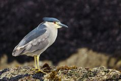 Close up of a black-crowned night heron standing on rocky coast. Close up of a black-crowned night heron standing on a rocky coast in Falkland islands Royalty Free Stock Image