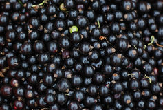 Close-up of black currants Stock Photography