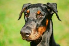 Close Up Black Doberman Dog On Green Grass Stock Photo