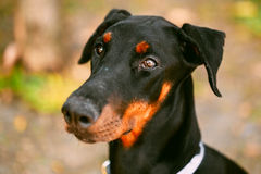 Close Up Black Doberman Dog Outdoor Royalty Free Stock Photography