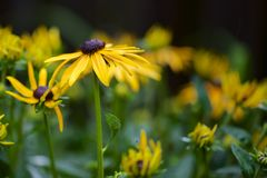 Close-up of Black-eyed Susan Stock Images