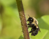 Close-up of a black faced Bumble Bee. Stock Images