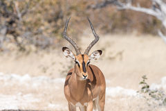 Close-up of a black-faced impala ram Royalty Free Stock Image