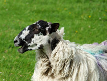 Close up of black faced sheep in profile Stock Photos