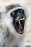Close up of a black faced vervet monkey baring its teeth Royalty Free Stock Images