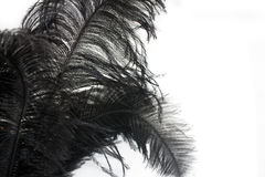 Close-up of Black feather isolated Stock Images