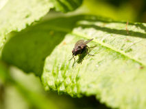 Close up of a black fly resting on a leaf face forward with clea Stock Image
