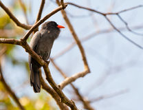 Close-up of Black-fronted Nunbird Stock Image