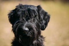 Close up of black Giant Schnauzer or Riesenschnauzer dog Royalty Free Stock Photo