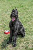 Close up of black Giant Schnauzer or Riesenschnauzer dog outdoor. A young beautiful Riesenschnauzer dog standing on the lawn while sticking its tongue out and Stock Photography
