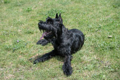 Close up of black Giant Schnauzer or Riesenschnauzer dog outdoor. A young beautiful Riesenschnauzer dog standing on the lawn while sticking its tongue out and Royalty Free Stock Photography