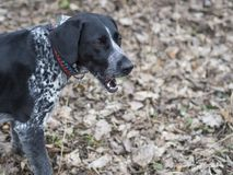 Close up black gray hunting dog crossbreed whippet and labradori Stock Image