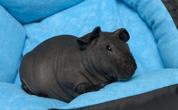 Close-up of Black guinea pig, 3 months old Stock Photo