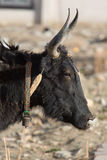 Close-up of a black head of a yak on the Friendship Highway in T Royalty Free Stock Photo