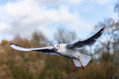 Blackheaded gull wings outstretched in flight. Close up of a black headed gull Chroicocephalus ridibundus in adult winter plumage flying wings extended royalty free stock photo