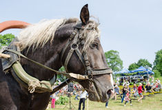 Close up black horse head white mane and harness Royalty Free Stock Photos
