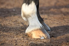 Close up of black horse hoofs. Close up of horse hoofs with shoes Royalty Free Stock Photo