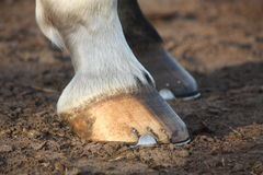 Close up of black horse hoofs Stock Photos