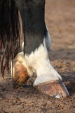 Close up of black horse hoofs. Close up of horse hoofs with shoes Stock Photo