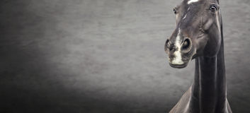 Close up of black horse portrait on dark textured background Stock Image