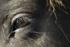 Close up of a black horse`s eye. Close up of an a black horse`s face and brown eye stock photo