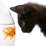 Close-up of Black kitten looking at Goldfish stock photo