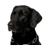 Close-up of a black Labrador Stock Images