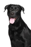 Close-up of Black Labrador dog Royalty Free Stock Images