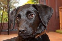 Close up of a black labrador puppy Stock Photography