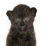Close-up of a Black Leopard cub, 3 weeks old Stock Photo