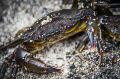 Close-up black living crab in the sand Royalty Free Stock Photos