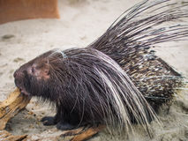 Close up black malayan porcupine standing on floor. With copy space Royalty Free Stock Photos