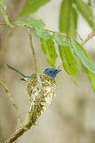 A close up of Black-naped Monarch in its nest Stock Images