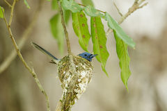 A close up of Black-naped Monarch in its nest Royalty Free Stock Image