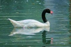 Black-necked Swan Stock Photo