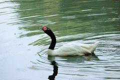 Black-necked Swan Royalty Free Stock Image