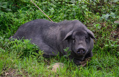 Close-up of a black pig at garden in Vietnam Stock Photography