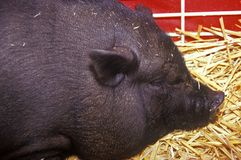 Close-up of black pig in hay, petting zoo, Los Angeles County Fair Barnyard, Pomona, CA Stock Photo