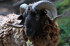 Close Up of a Black Ram royalty free stock images