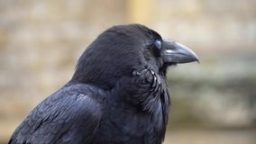 Close up black raven on fence of tower of London.