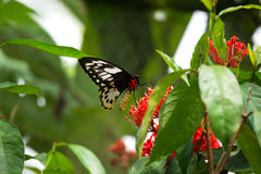 Close-up black red colored butterfly sitting on red flower eating its nectar. Stock Photo