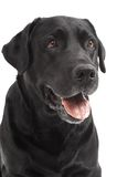 Close-up Black Retriever Labrador Royalty Free Stock Photo