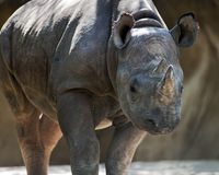 Rhino. Close up of a black rhino Stock Photo